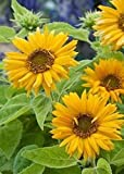 David's Garden Seeds Sunflower Santa Lucia FY9221 (Yellow) 100 Open Pollinated Seeds Photo, new 2020, best price $6.95 review