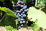 Baco Noir Wine Grape Vine - Plantable Year-Round Photo, new 2020, best price $4.50 review