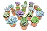 Succulent Plants (20 Pack) Fully Rooted in Planter Pots with Soil | Real Live Potted Succulents / Unique Indoor Cactus Decor by Plants for Pets Photo, new 2020, best price $42.95 review