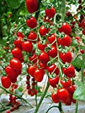 Tomato Red Cherry Grape Tomato 50+Seeds -Tiny Small Sweet Red Cherry Tomato Organic Non-gmo Sweet Fresh Fruit Vegetable Garden Seeds For Planting Tasty Great for Salads Juice Photo, new 2020, best price $7.99 review
