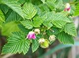 Salmonberry Bush - 1 Bare Root Plant - Rubus spectabilis - Salmonberries - By Yumheart Gardens Photo, new 2020, best price $9.99 review
