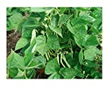 Pinto Bean Plant Seeds, 50+ Premium Heirloom Seeds, ON Sale!, (Isla's Garden Seeds), Non GMO Organic, 90% Germination, Highest Quality! Photo, new 2020, best price $5.99 review