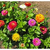David's Garden Seeds Flower Zinnia California Giants OS0987 (Multi) 500 Non-GMO, Heirloom Seeds Photo, new 2020, best price $6.95 review