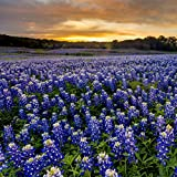 Outsidepride Texas Bluebonnet Seed - 500 Seeds Photo, new 2020, best price $6.49 review