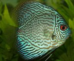 Blue Discus Photo and care