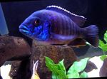 Blue Peacock Cichlid Photo and care