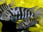 Convict Cichlid Freshwater Fish  Photo