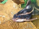Catfish raphael chocolate Freshwater Fish  Photo