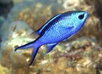 Chromis Photo and care