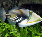 Humu Picasso Triggerfish Photo and care