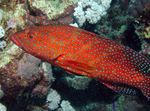 Miniatus Grouper, Coral Grouper Photo and care