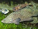 Panther Grouper Marine Fish (Sea Water)  Photo