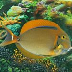 Black Spot Tang Photo and care