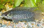 Ctenopoma fasciolatum Freshwater Fish  Photo