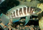 Cylindricus Cichlid Freshwater Fish  Photo