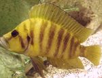Gold Head Compressicep Cichlid Freshwater Fish  Photo