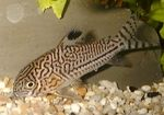 Corydoras trilineatus Freshwater Fish  Photo