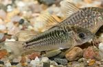 Elegant Cory Freshwater Fish  Photo