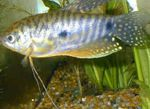 Cosby gourami  Photo and care