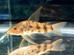 Scleromystax macropterus Freshwater Fish  Photo