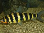 Black banded leporinus Freshwater Fish  Photo