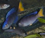 Sardine Cichlid Photo and care