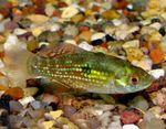 Jordanella floridae Freshwater Fish  Photo