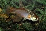 Maratecoara Freshwater Fish  Photo