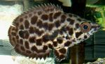 Spotted Climbing Perch, Leopard Bushfish Freshwater Fish  Photo