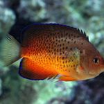 Rusty angelfish Photo and care