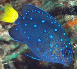 Jewel Damselfish Photo and care