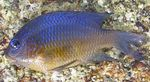 Giant Damselfish Photo and care