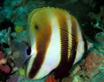 Orange-Banded Coralfish Marine Fish (Sea Water)  Photo