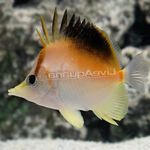 Longnose Atlantic Butterflyfish Marine Fish (Sea Water)  Photo