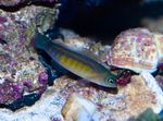 Blue-Line Dottyback Marine Fish (Sea Water)  Photo