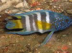 Paraplesiops Marine Fish (Sea Water)  Photo