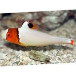 Bicolor parrot fish  Photo and care