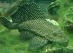 Glyptoperichthys gibbiceps Photo and care