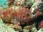 Freckled frogfish  Photo and care
