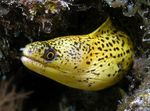 Golden Moray Eel Photo and care