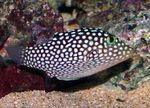 Spotted Puffer (Hawaiian White Spotted Toby) Marine Fish (Sea Water)  Photo