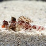 Red Scooter Dragonet Marine Fish (Sea Water)  Photo
