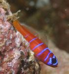 Catalina Goby (Bluebanded Goby) Photo and care