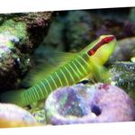 Greenbanded Goby Marine Fish (Sea Water)  Photo