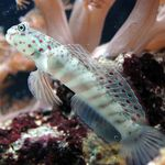 Pink Spotted Watchman Goby Marine Fish (Sea Water)  Photo
