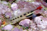 Red Head Goby Marine Fish (Sea Water)  Photo