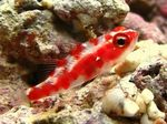 Red Spotted Goby Marine Fish (Sea Water)  Photo