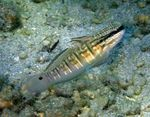 Sleeper Banded Goby Marine Fish (Sea Water)  Photo