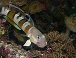 Ward's sleeper (Tiger Watchman Goby) Marine Fish (Sea Water)  Photo