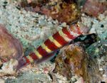 Wheeler's Shrimp Goby Marine Fish (Sea Water)  Photo